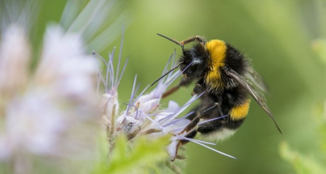 Bumblebees face threat of extinction from pesticide