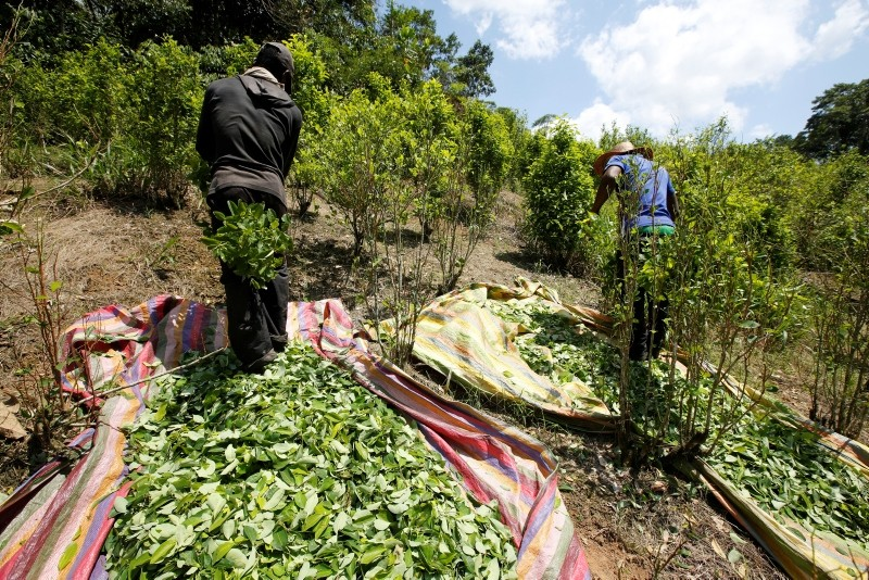 In this March 3, 2017 file photo, workers harvest coca leaves in Puerto Bello, in the southern Colombia's state of Putumayo. (AP Photo)