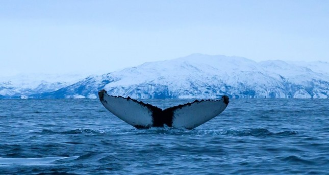 A Humpback whale immerses on Jan. 15, north of Tromso, Norway.