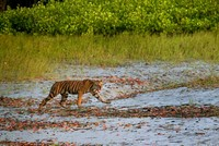 India's tiger population grows to 3,000