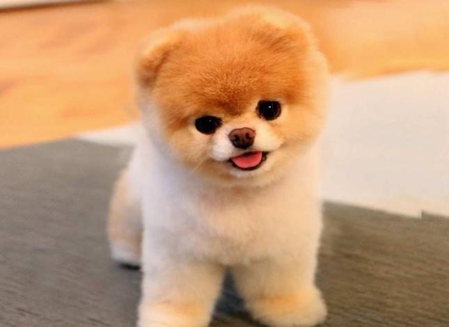 Toy Sized Pomeranian Dogs Favorite Pet In Turkey Daily Sabah