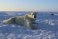 Polar bears can't catch enough food to keep up with high metabolism: study