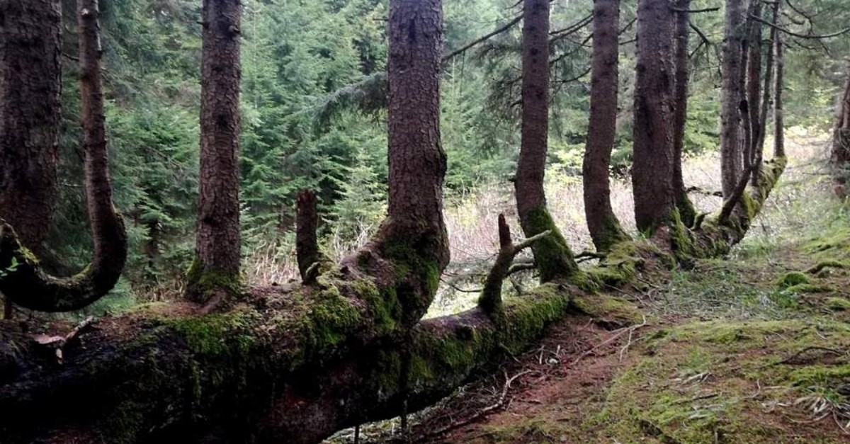 What were once side branches have become new trees growing along the fallen trunk. (DHA Photo)