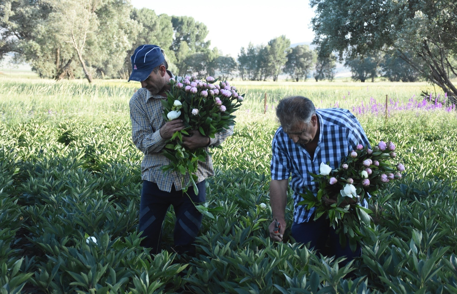 The Hu00f6ke brothers picking peonies