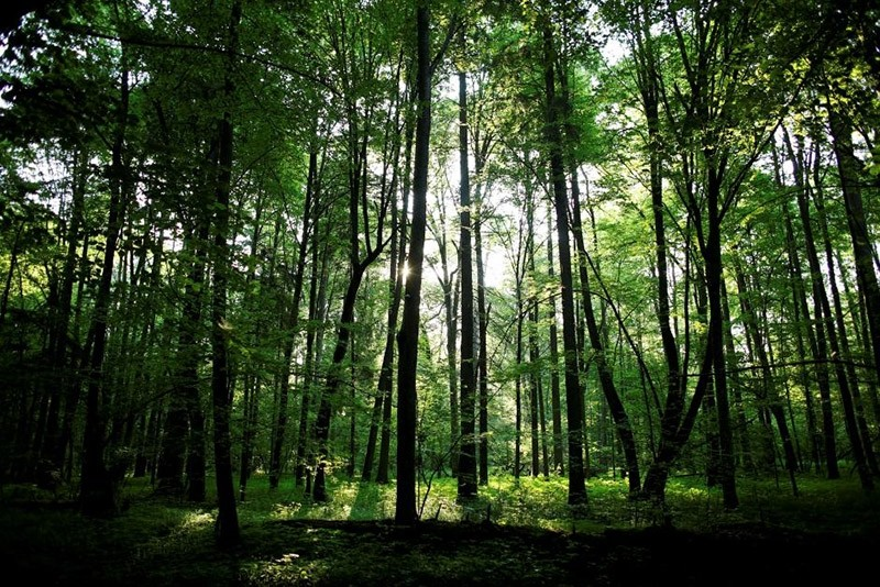 The sun shines through trees in a protected area of Bialowieza forest, the last primeval forest in Europe, near Bialowieza village, Poland May 30, 2016. (Reuters Photo)