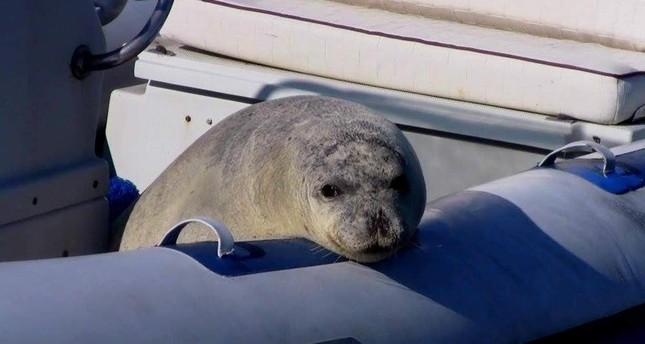 A Mediterranean monk seal rescued from fish nets in Karaburun, ?zmir. (DHA Photo)
