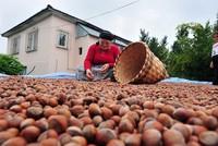 Türkei: 25.000 Tonnen Haselnüsse im Sept. exportiert