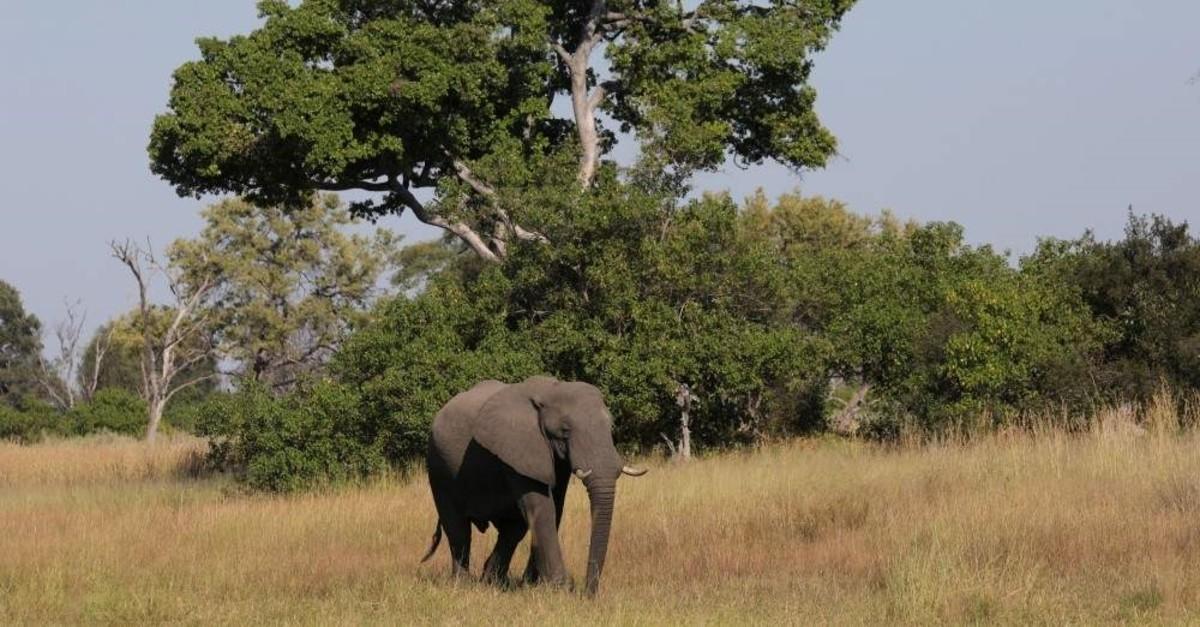 A young bull elephant is seen in the Okavango Delta, Botswana, April 25, 2018. (Reuters Photo)