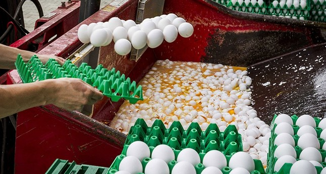 Eggs being destroyed at a poultry farm in Onstwedde, the Netherlands, 03 August 2017. (EPA Photo)