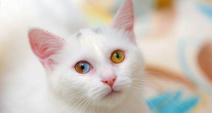 Rare Van cat with two colors in one eye excites researchers