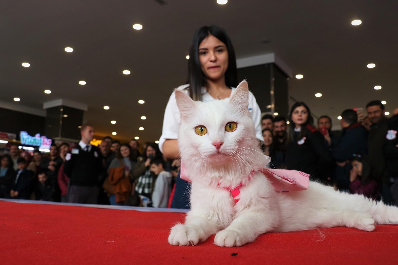 'Spak' wins Van cat beauty contest in eastern Turkey