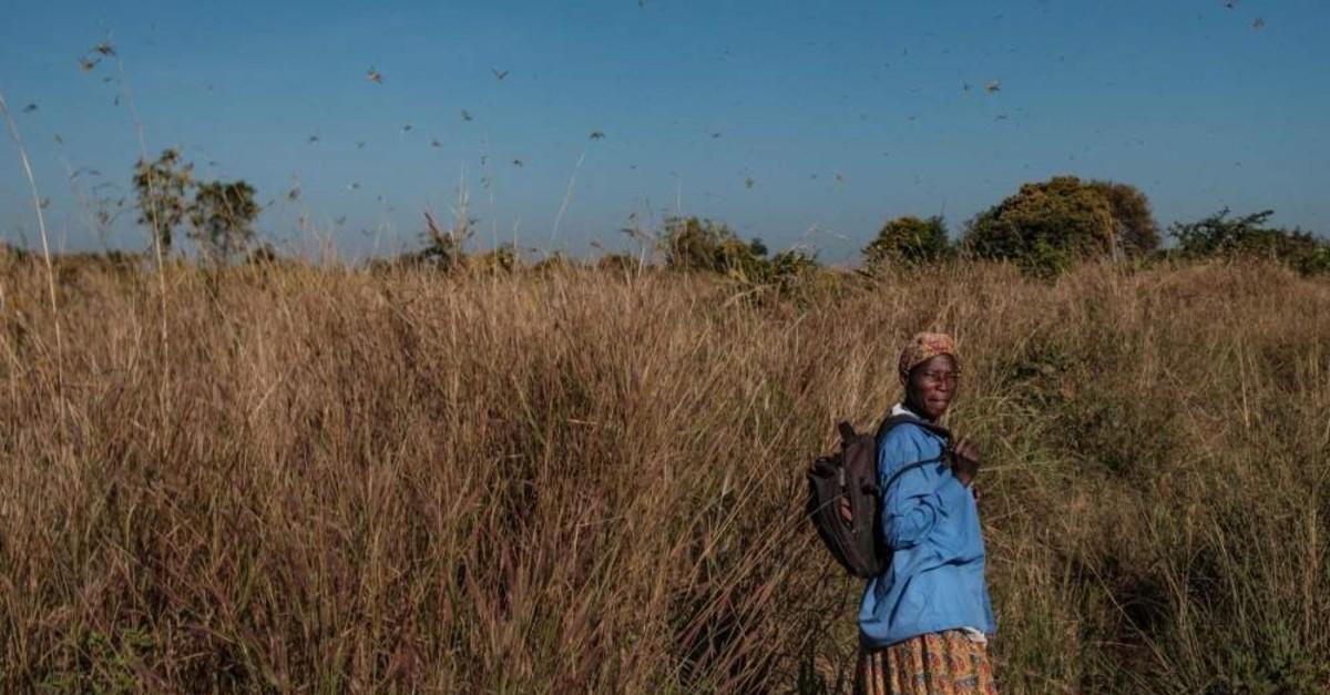 A woman looks on as swarms of locusts land and feed on shea trees in Otuke, Uganda, Feb. 17, 2020. (AFP Photo)