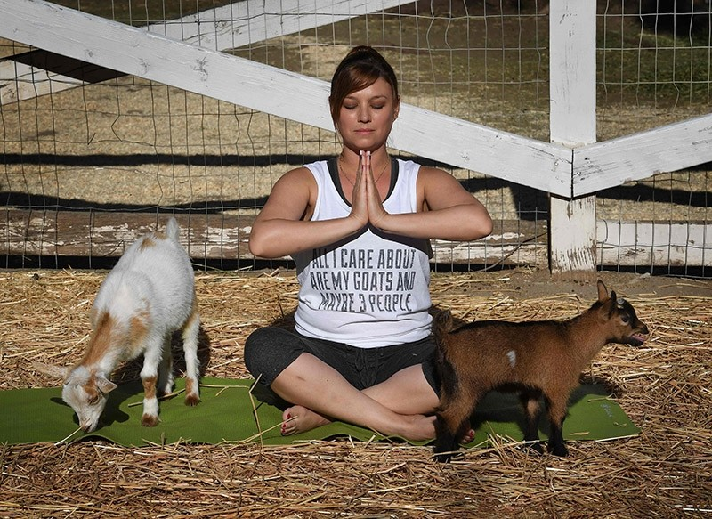 This photo taken on on June 4, 2017 shows Stephanie Allis struggling to maintain her concentration as a baby goat gets close during a ,Goat Yoga, class organized by Lavenderwood Farm in Thousand Oaks, California. (AFP Photo)
