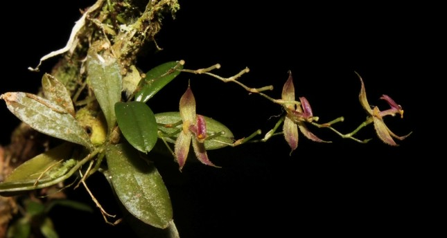 This undated and unlocated handout picture released on August 14, 2018 by the National Service of Protected Natural Areas (Sernanp) shows the recently discovered orchid species Andinia tingomariana found in Peru. (AFP Photo)