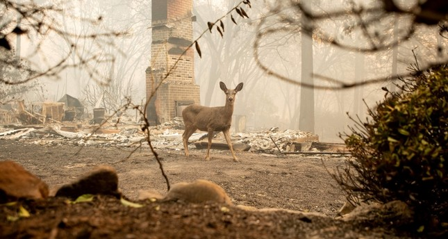 A deer looks on from a burned residence after the Camp Fire tore through the area in Paradise, California on Nov. 10, 2018.(AFP Photo)