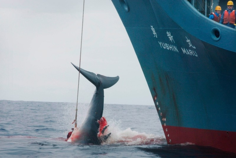 A handout photo made available by Greenpeace shows the Japanese whaling ship fleet killing a whale with its first harpoon in the Southern Ocean, Jan. 07, 2006. (EPA Photo)