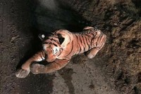 UK police end up in 45-minute armed standoff with stuffed tiger