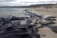 Japanese whalers kill 333 whales in Antarctic hunt