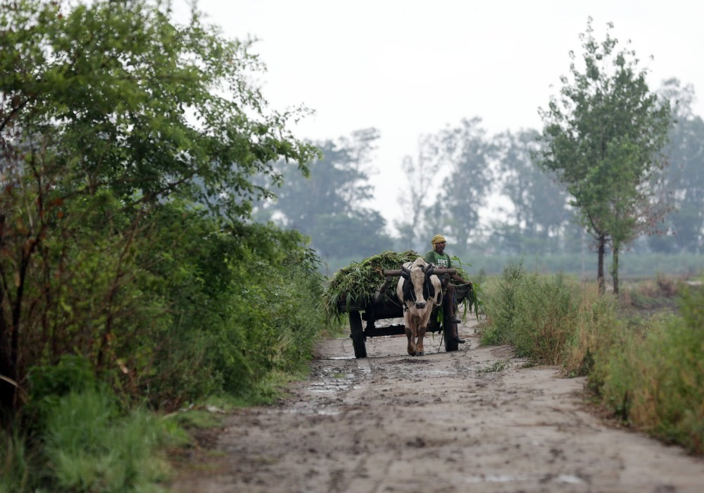 An Indian farmer rides his ox cart near agricultural fields, Verka, India.