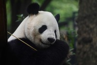 Japanese well-wishers flocked to a Tokyo zoo Wednesday to get their last glimpse of a possibly pregnant panda before she goes into confinement.