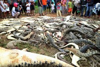 Mob kills 292 crocodiles in Indonesia's Papua province in revenge of local man