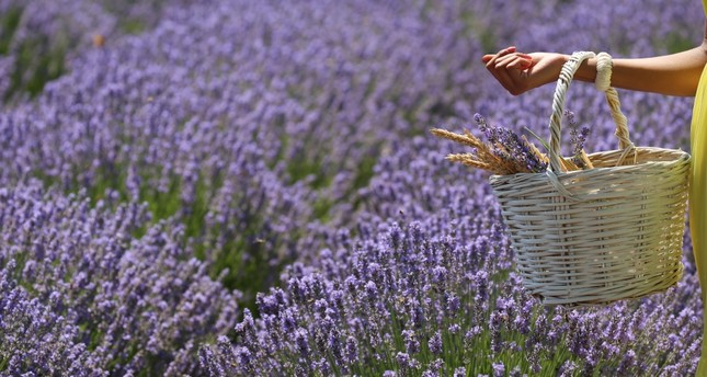 In Lavender Field Days, visitors pick lavenders and take photos.
