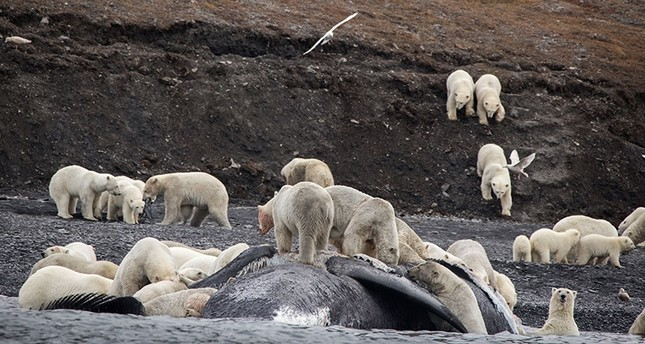 A handout picture taken Sept. 19, 2017 shows polar bears gathering around the carcass of a bowhead whale on the shore of Russia's Wrangel Island.(AFP Photo/ Max Stephenson)