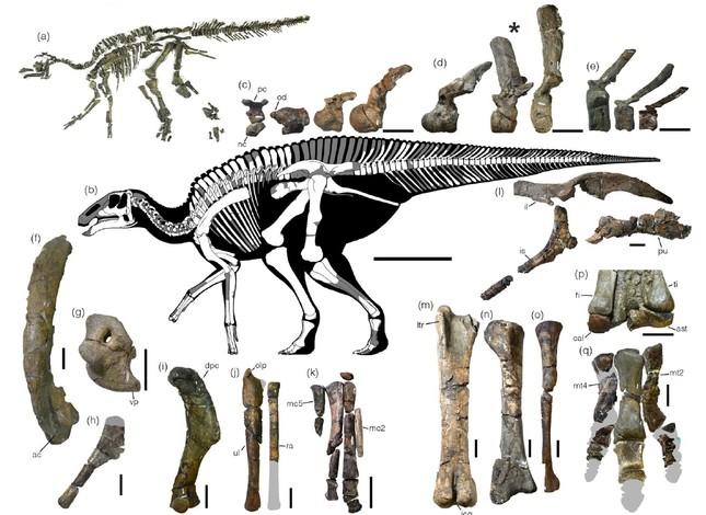 Holotype skeleton of Kamuysaurus japonicus. (Photo courtesy of Scientific Reports, Sept. 5, 2019)