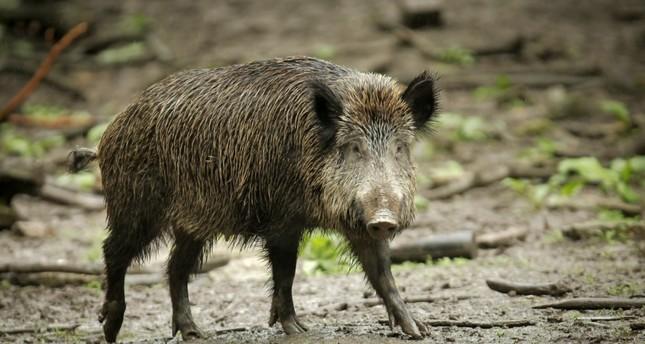 Danemark Wildschwein Zaun Soll 2019 Gebaut Werden Daily Sabah