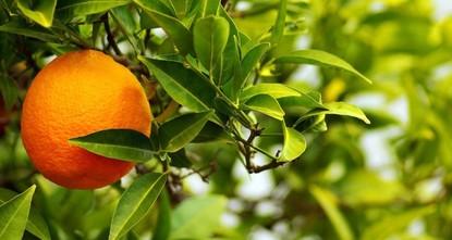 Bitter orange marmalade: A sweet taste of nostalgia