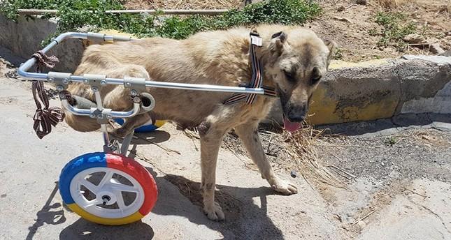 تركي يصنع أطرافاً صناعية للحيوانات