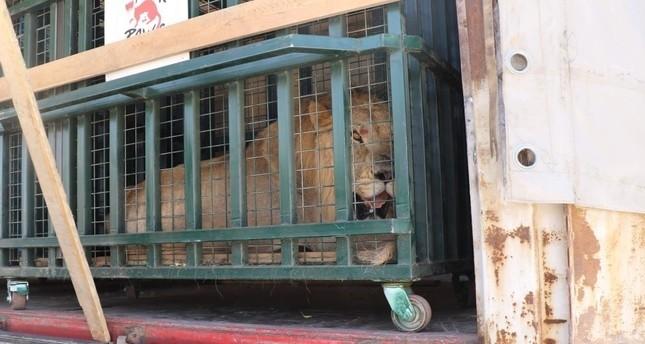 Türkei bemüht um Rettung von Zootieren aus den Trümmern Syriens