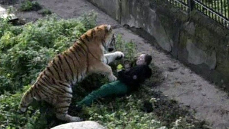 An onlooker snapped this photo of tiger attacking a Russian zookeeper (Reuters Photo)