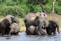 87 elephants found dead without tusks in Botswana