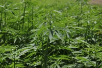 Once an ambitious producer, Turkey again looks to join industrial hemp cultivators club