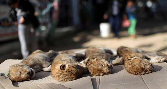 Bodies of four baby lion cubs that died in a zoo, are seen in the southern Gaza Strip, Jan. 18, 2019. Reuters Photo