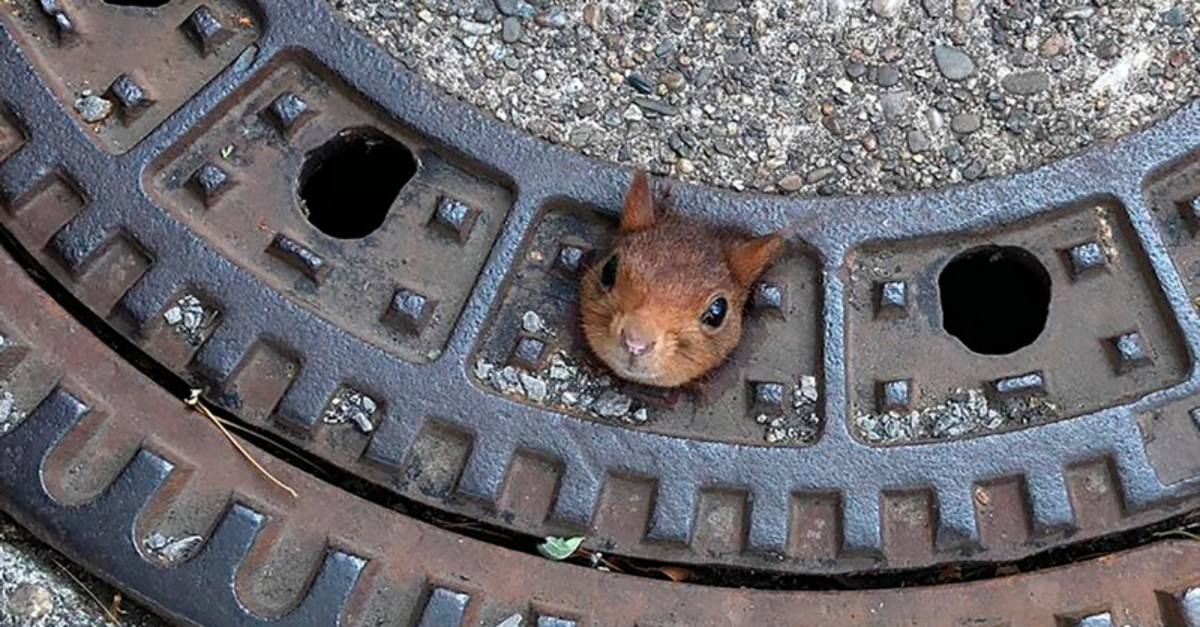 In this Thursday, June 20, 2019 photo provided by the fire department a squirrel is stuck in a gully cover in Dortmund, Germany. (AP Photo)