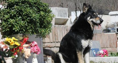 pOne loyal German shepherd in Argentina died this week beside his owner's grave, where he had been passing his days since his owner died 12 years ago, local media reported./p