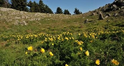 pDie Blume Adonis Cyllenea wurde das erste mal wieder nach 150 Jahren in der Provinz Şebinkarahisar in der nordöstlichen Stadt Giresun gefunden./p  pDas Ministerium für Land-, Forst- und...