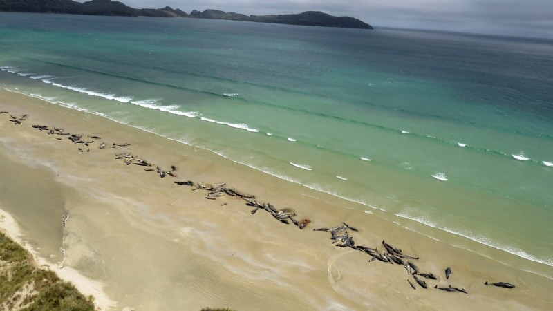 In this Sunday, Nov. 25, 2018 photo, pilot whales lie beached at Mason Bay, Rakiura on Stewart Island, New Zealand. As many as 145 pilot whales have died after the mass stranding which was discovered by a hiker on Saturday, Nov. 24, 2018. (AP Photo)