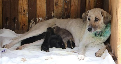 pAfter their mother died, seven wolf pups were brought to the Gölpınar Wildlife Rescue and Rehabilitation Center in southeastern Turkey's Şanlıurfa, where they are being nursed by a dog./p
