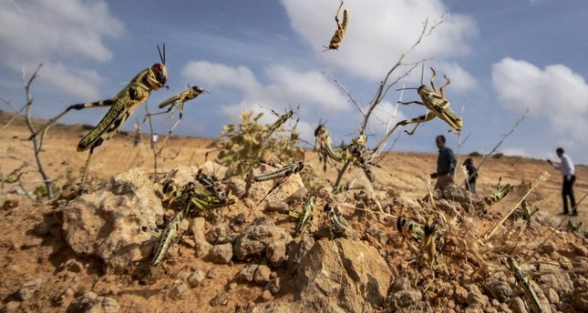 Young desert locusts that have not yet grown wings jump in the air as they are approached by a visiting delegation from the Food and Agriculture Organization FAO in the desert near Garowe, in the semi-autonomous Puntland region of Somalia, Feb. 5, 2020 AP Photo