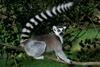 Man pleads guilty to stealing ring-tailed lemur from California zoo