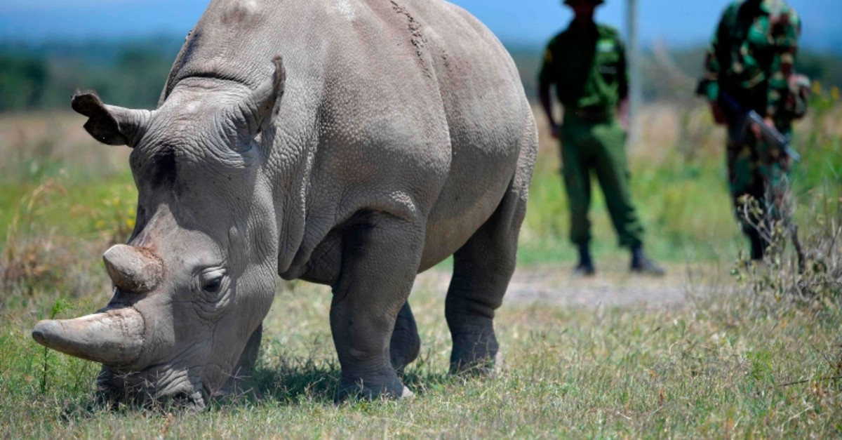 Najin, 30, and her offspring Fatu (unseen), 19, two female northern white rhinos, the last two northern white rhinos left on the planet, graze in their secured paddock on August 23, 2019 at the Ol Pejeta Conservancy in Nanyuki (AFP Photo)