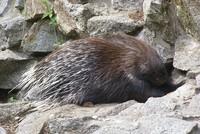 Porcupine killers fined $3,500 in southeast Turkey