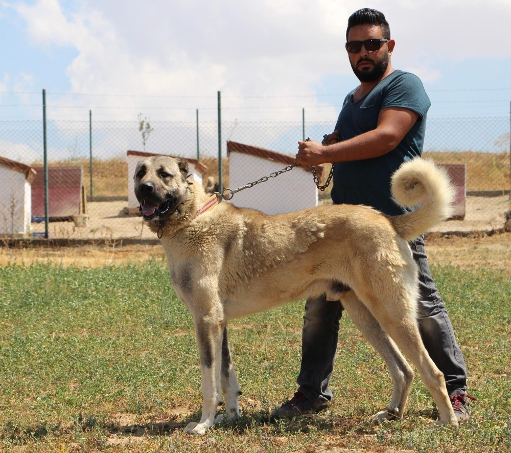 Breeder Murat Tau015fdelen, who supplied Kangal dogs to riot police, poses with one.