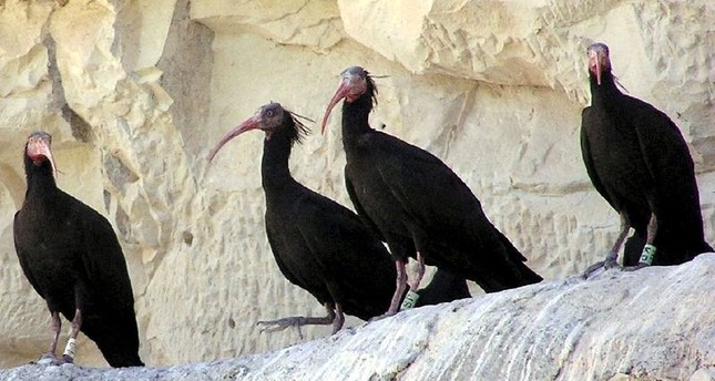 Endangered northern bald ibises seen at the conservation site in Turkey's southeastern Şanlıurfa province's Birecik (Sabah File Photo)