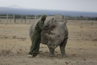 World's only remaining African male northern white rhino takes a walk on World Wildlife Day