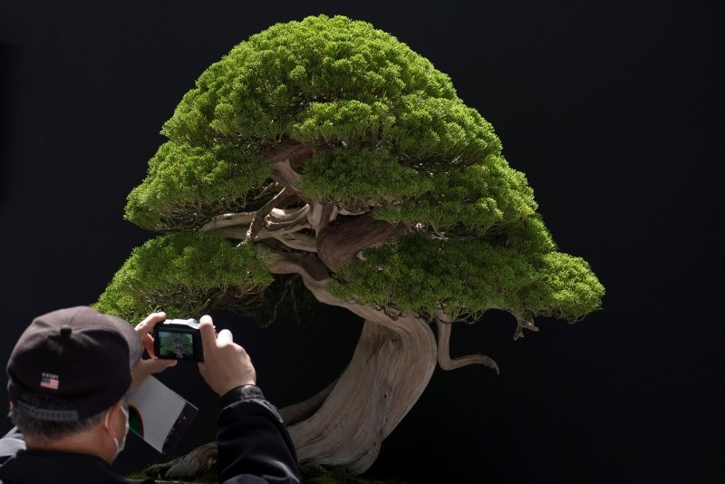 In this file photo taken on April 29, 2017 a visitor takes pictures of a bonsai displayed at the 8th World Bonsai Convention in Saitama (AFP File Photo)