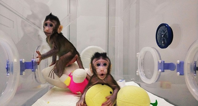 This handout picture from the Chinese Academy of Sciences Institute of Neuroscience, taken on January 20 and released on January 24, 2018 shows monkey clones Zhong Zhong (L) and Hua Hua at a research institution in Suzhou (AFP Photo)